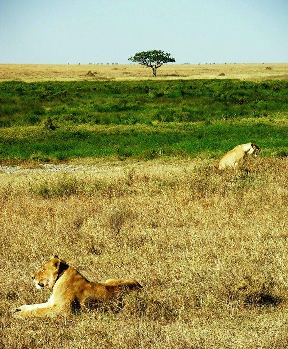 leijonat.jpg