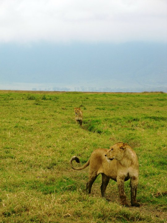 leijonat2.jpg