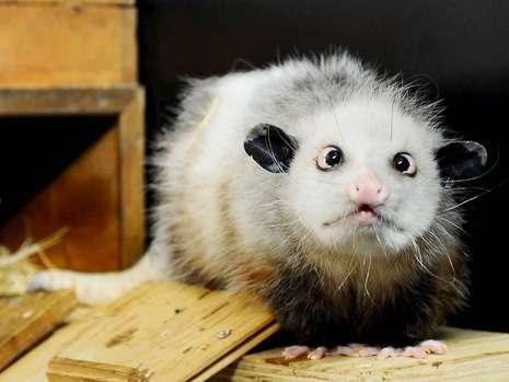 heidi-opossum.jpg