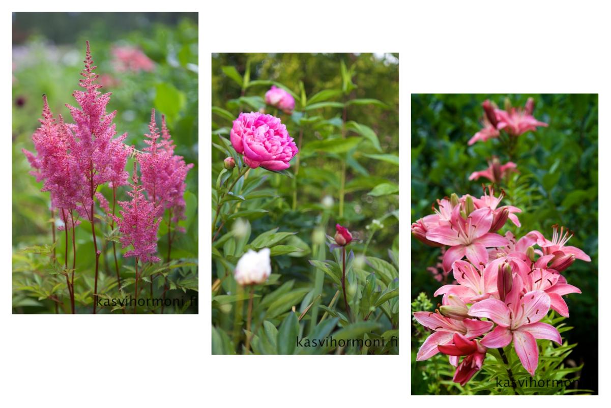 Pinkki_2_Kasvihormoni.fi.jpg