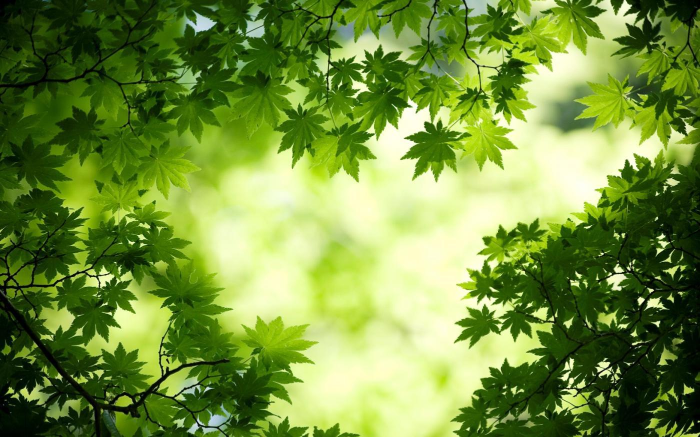 green_maple_leaves-wide.jpg