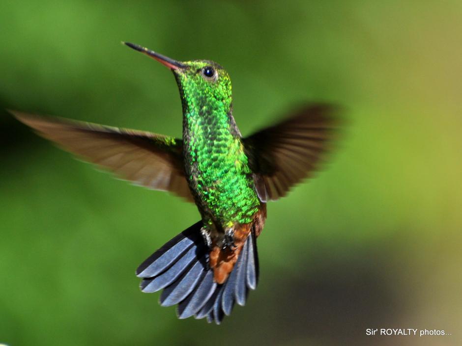 hummingbirds_129.jpg