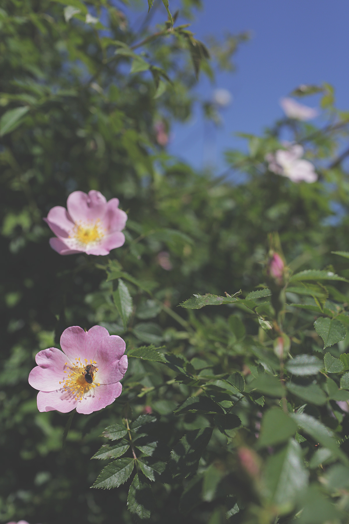 rose-bee-2.jpg