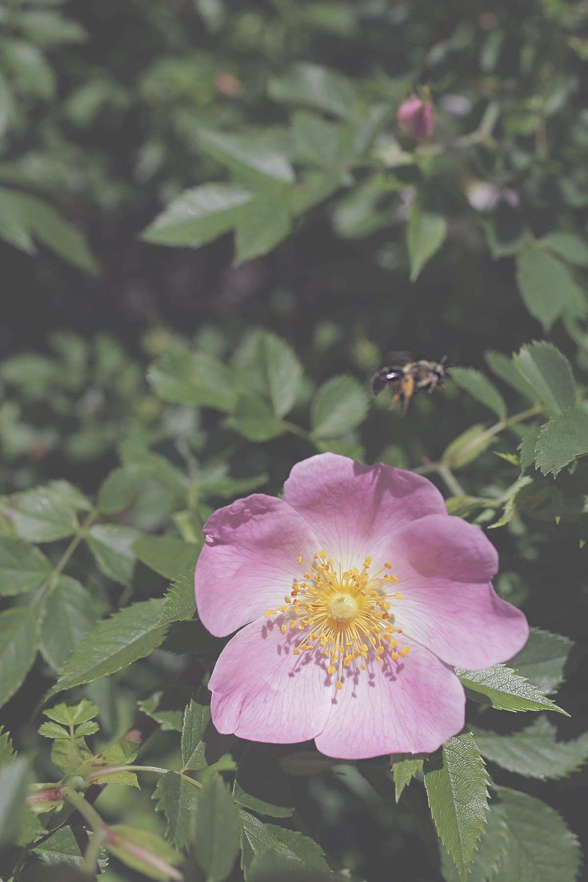 rose-bee.jpg