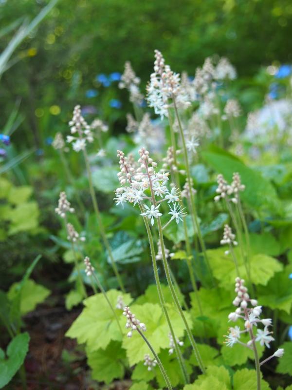 Päivän kukkija: rönsytiarella