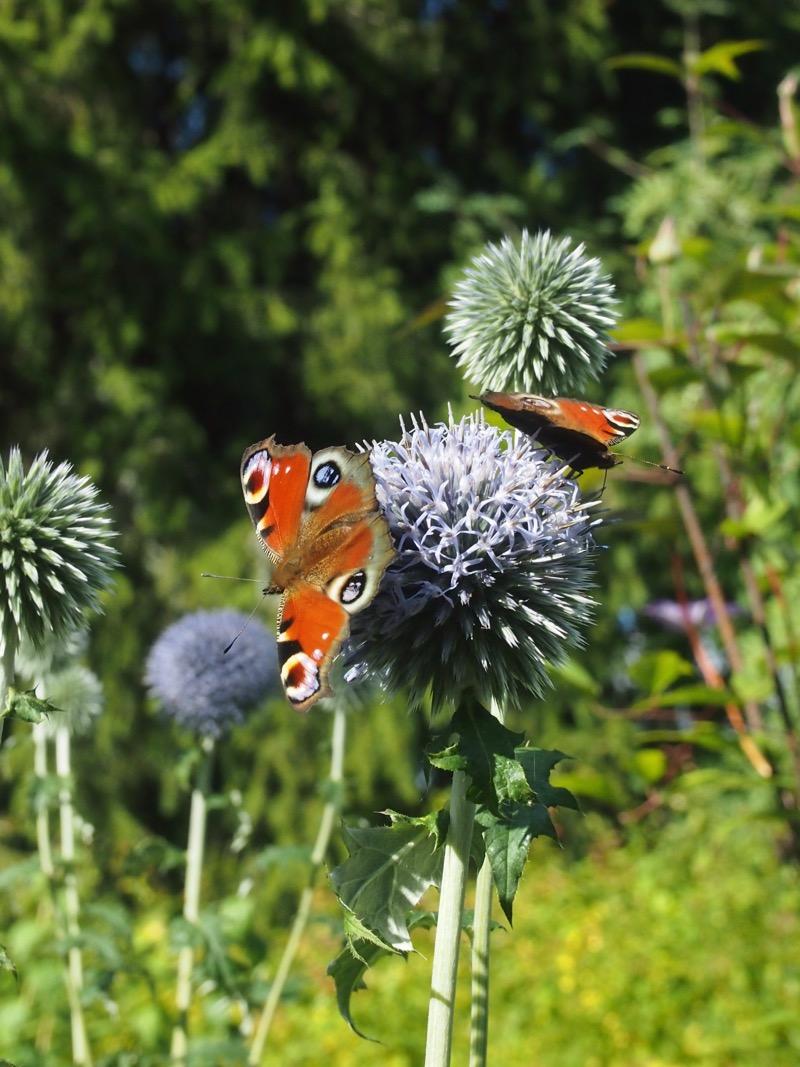 Vihdoinkin perhosia