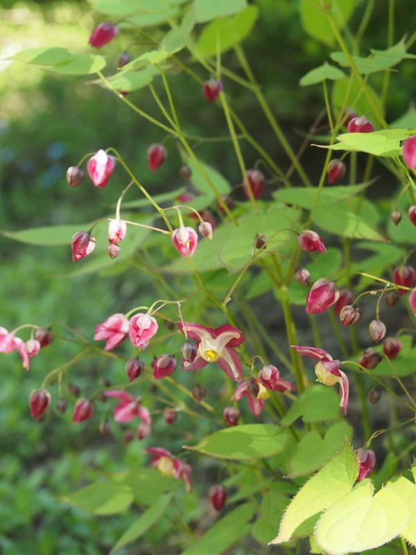 Päivän kukkija: tarhavarjohiippa