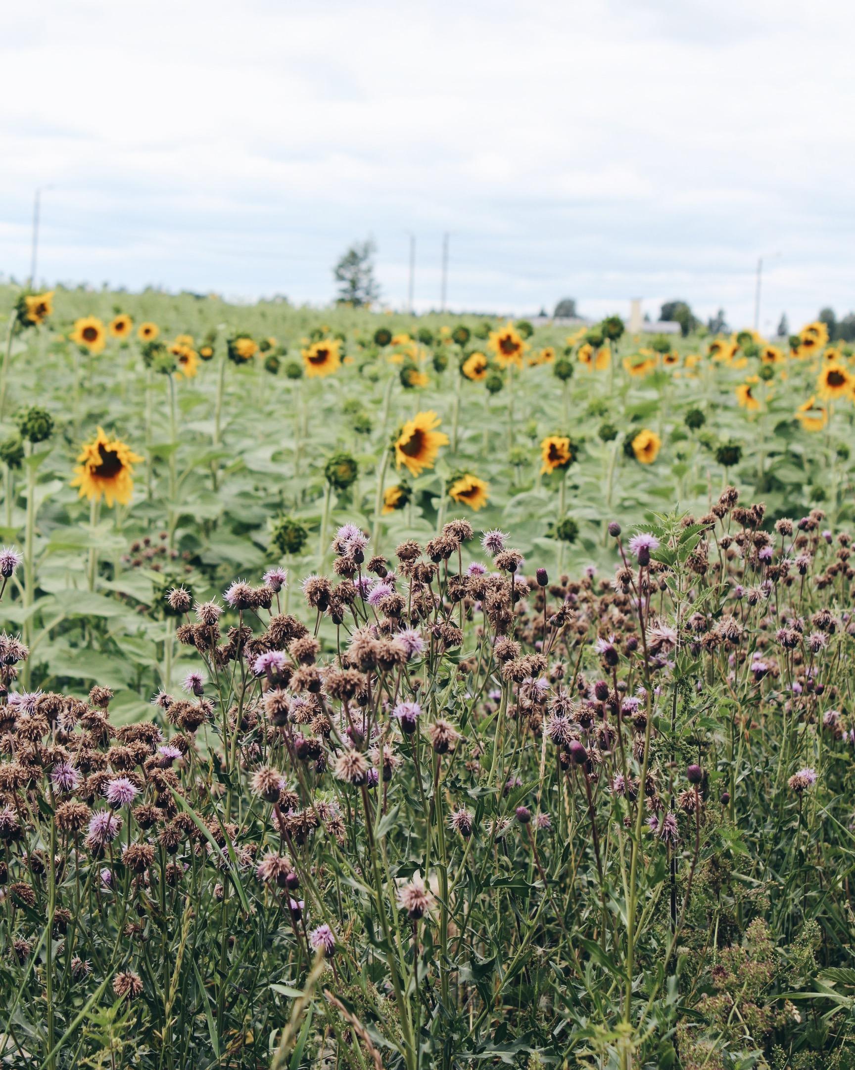 Auringonkukkia, vanhoja kartanoita ja ihana pyöräreitti