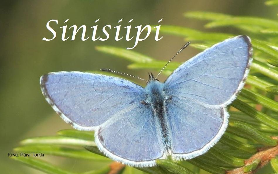 Sinisiipi