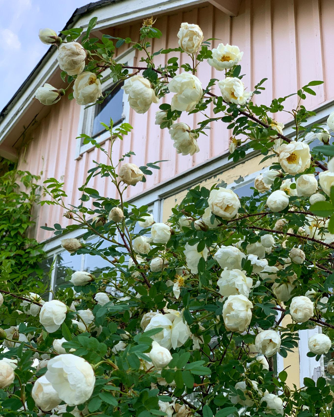 Juhannus puutarhamökillä: kukkia ja kesäkeittoa, hellettä ja hiekkarantaa