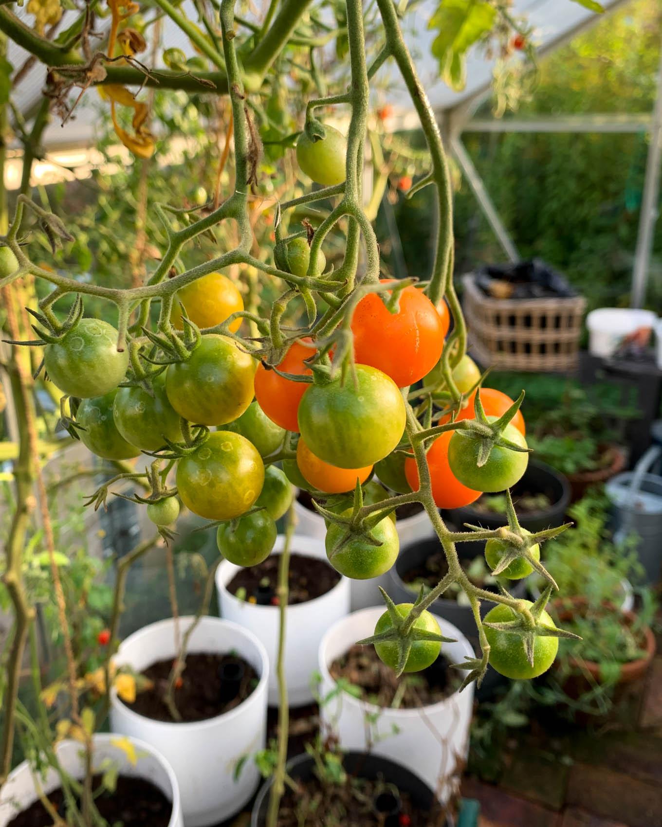 Kauden viimeiset tomaatit ja kurkut – kasvihuone kävi talvilevolle