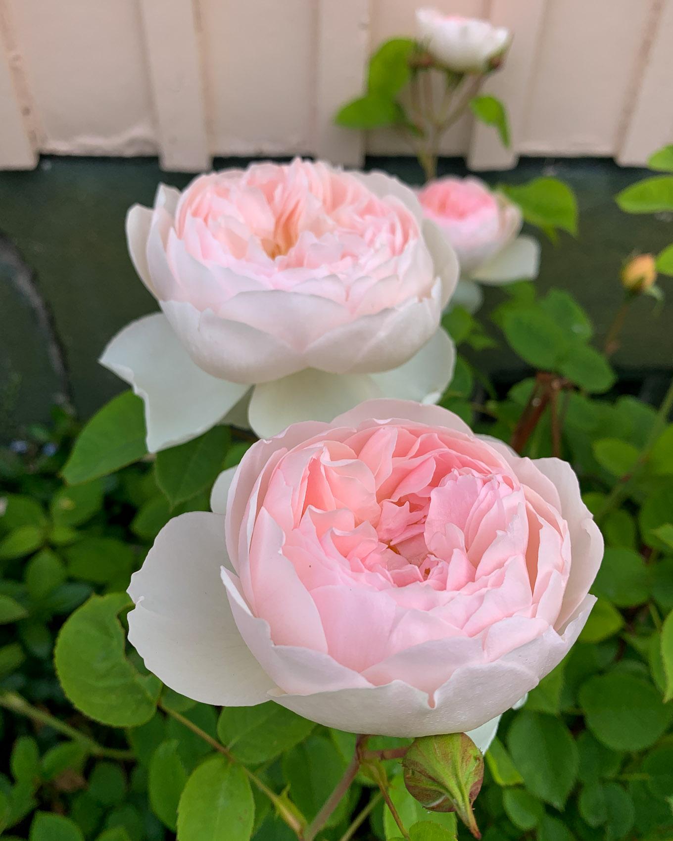 Ruusu - David Austin
