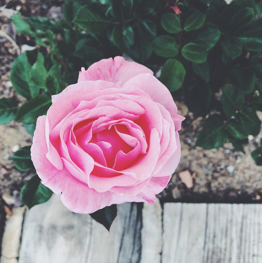 Kylmyyttä ja ruusuja