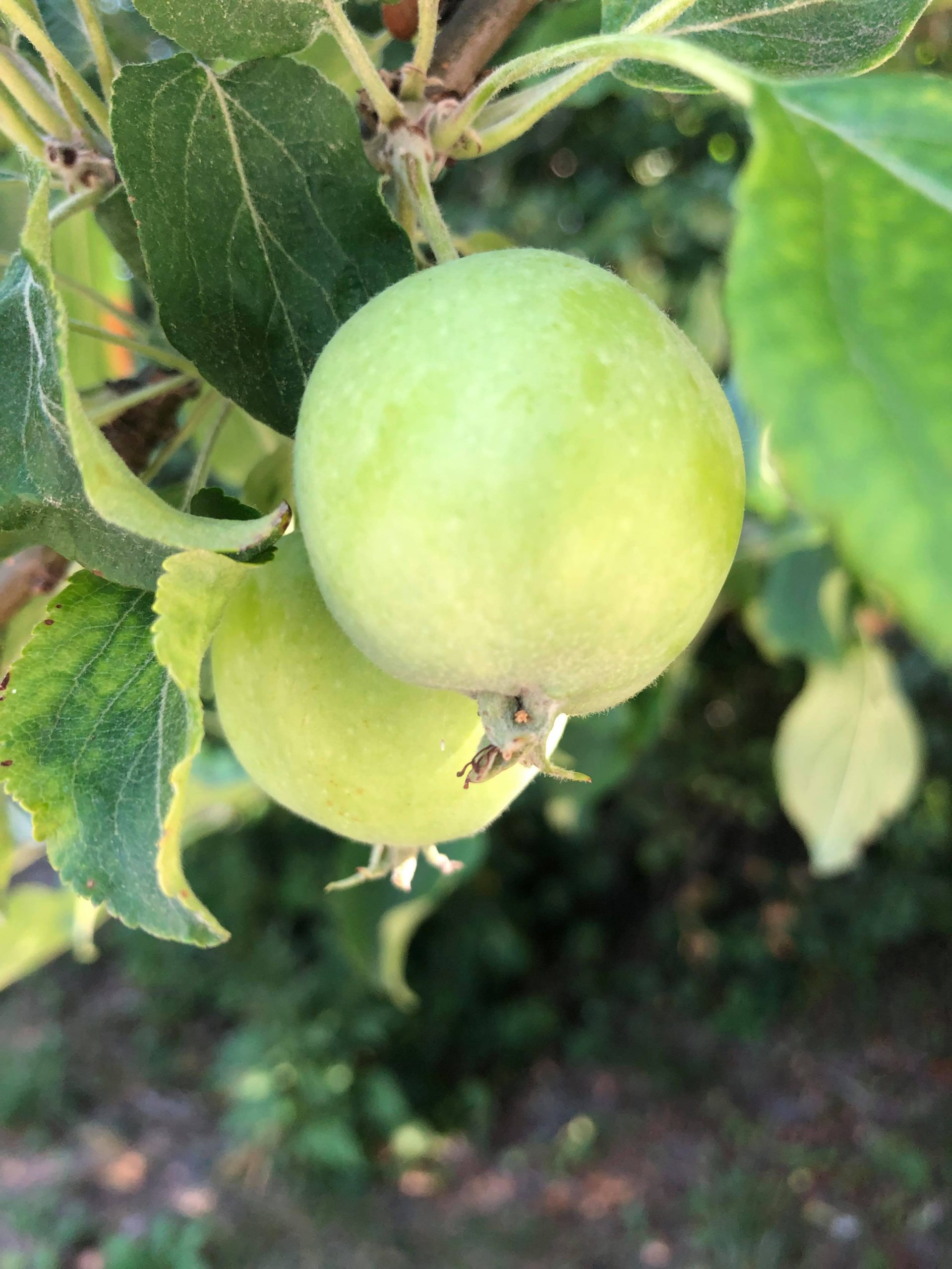 Vihreät omenat omenapuussa