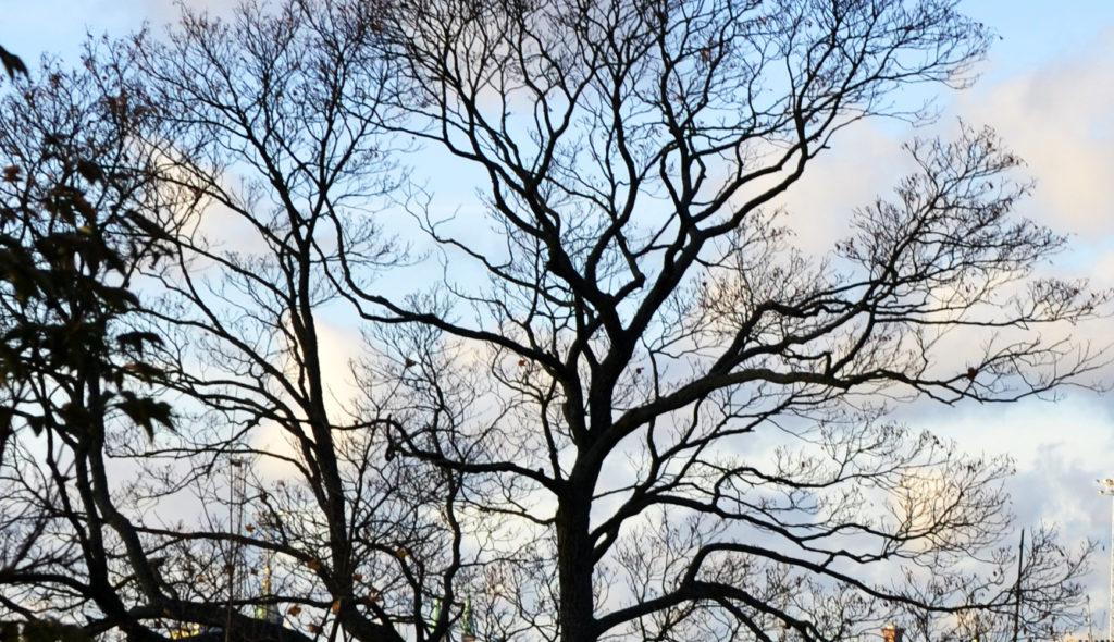 Lehdettömät puut sinistä taivasta vasten.