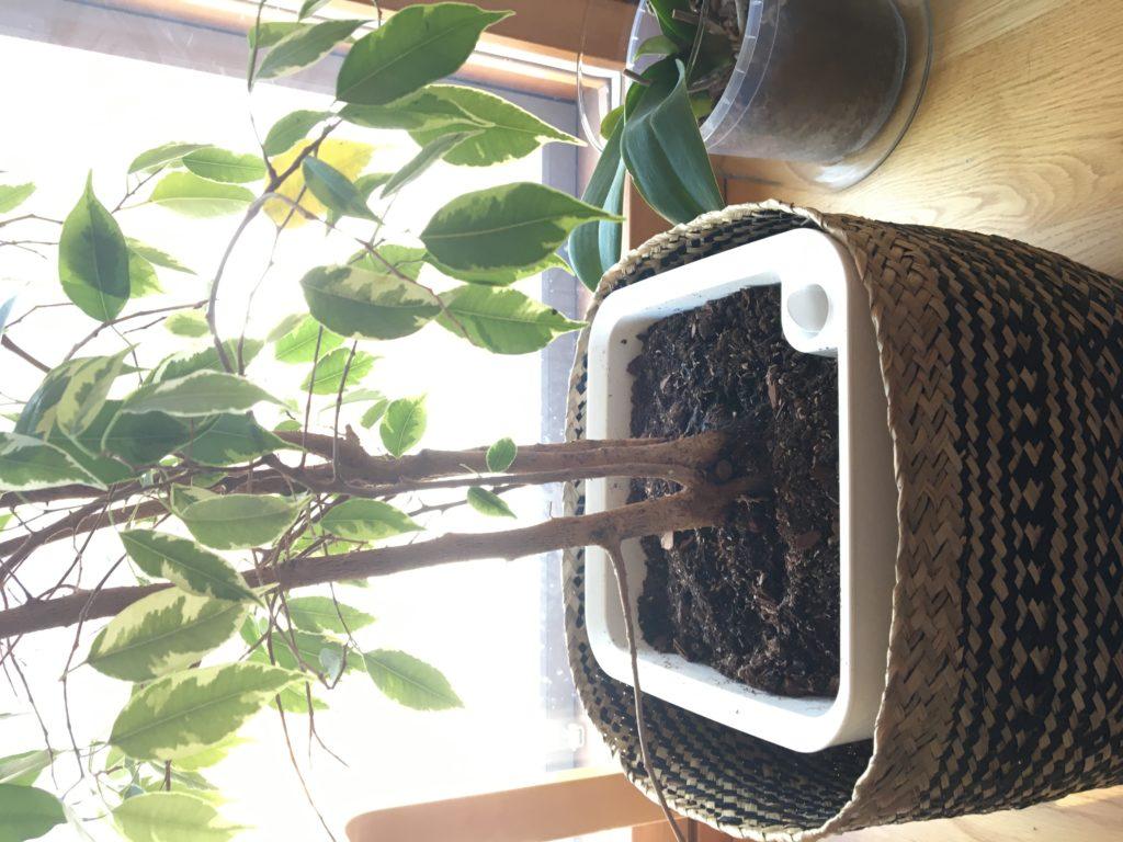 Limoviikuna korissa ja orkidea lasiruukussa.