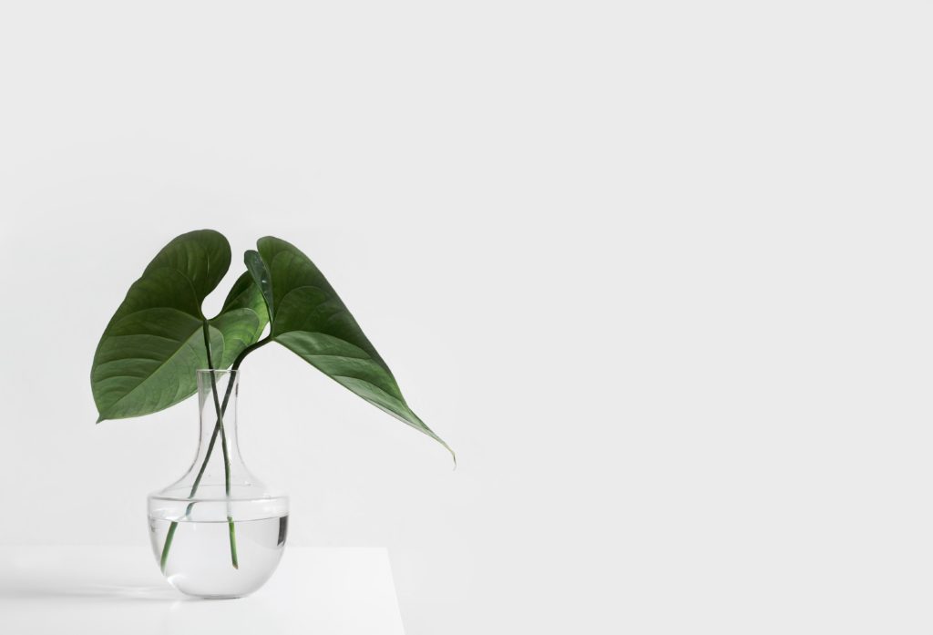 Viherkasvi juurtumassa lasimaljakossa.